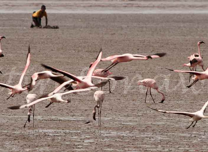 Sewri—an abode of Flamingoes